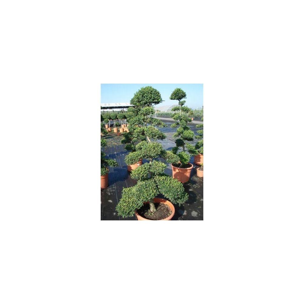 ilex crenata bonsa taill en nuages plantes et jardins. Black Bedroom Furniture Sets. Home Design Ideas
