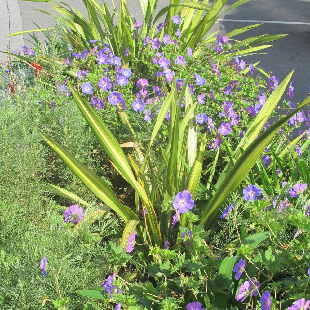 Phormium 39 yellow wave 39 plantes et jardins for Jardin et plantes