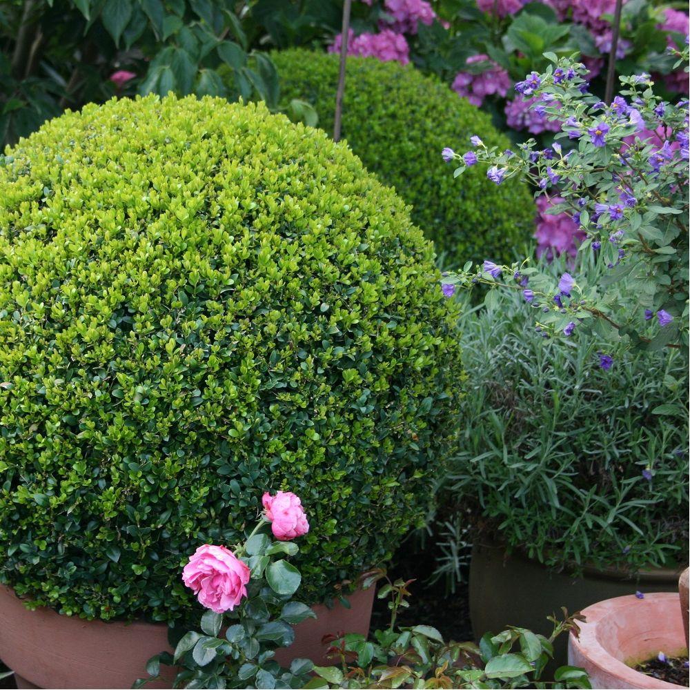 Buis commun en boule plantes et jardins for Jardin et plantes