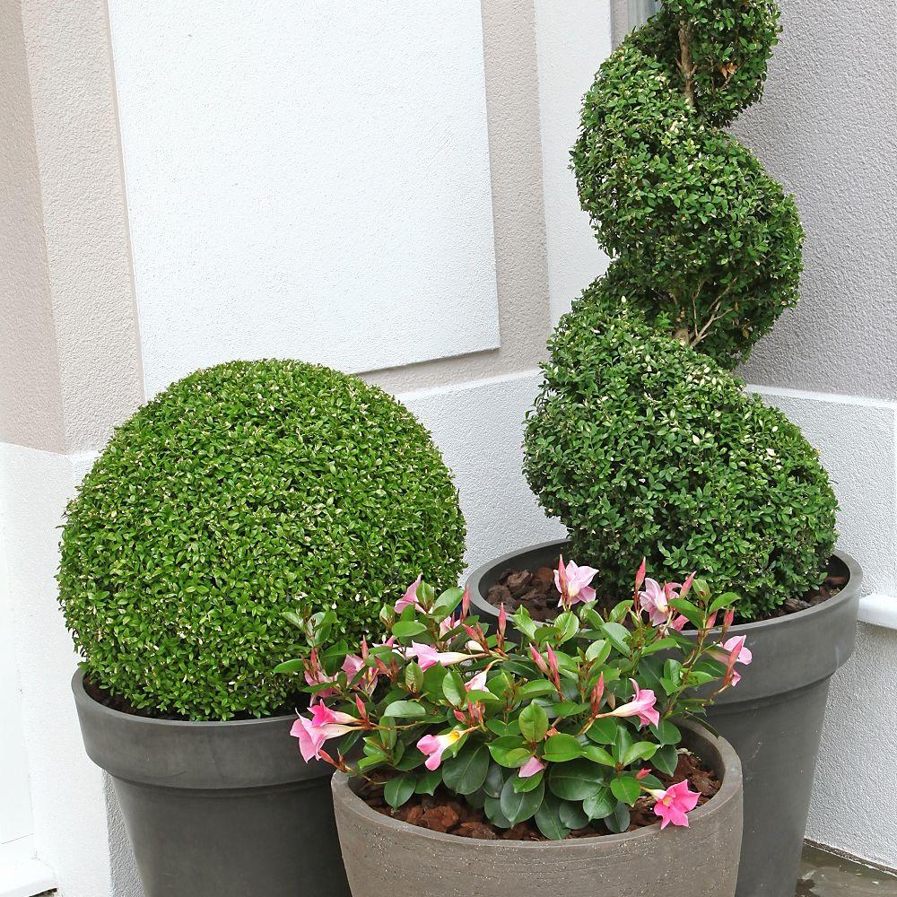 Buis commun en boule plantes et jardins for Plantes et jardins adresse