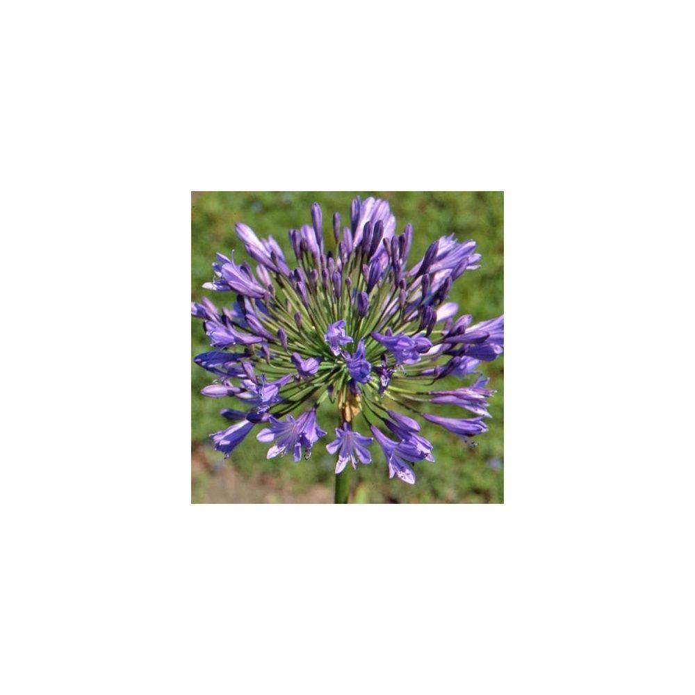 Agapanthus 39 donau 39 plantes et jardins - Www plantes et jardins com ...