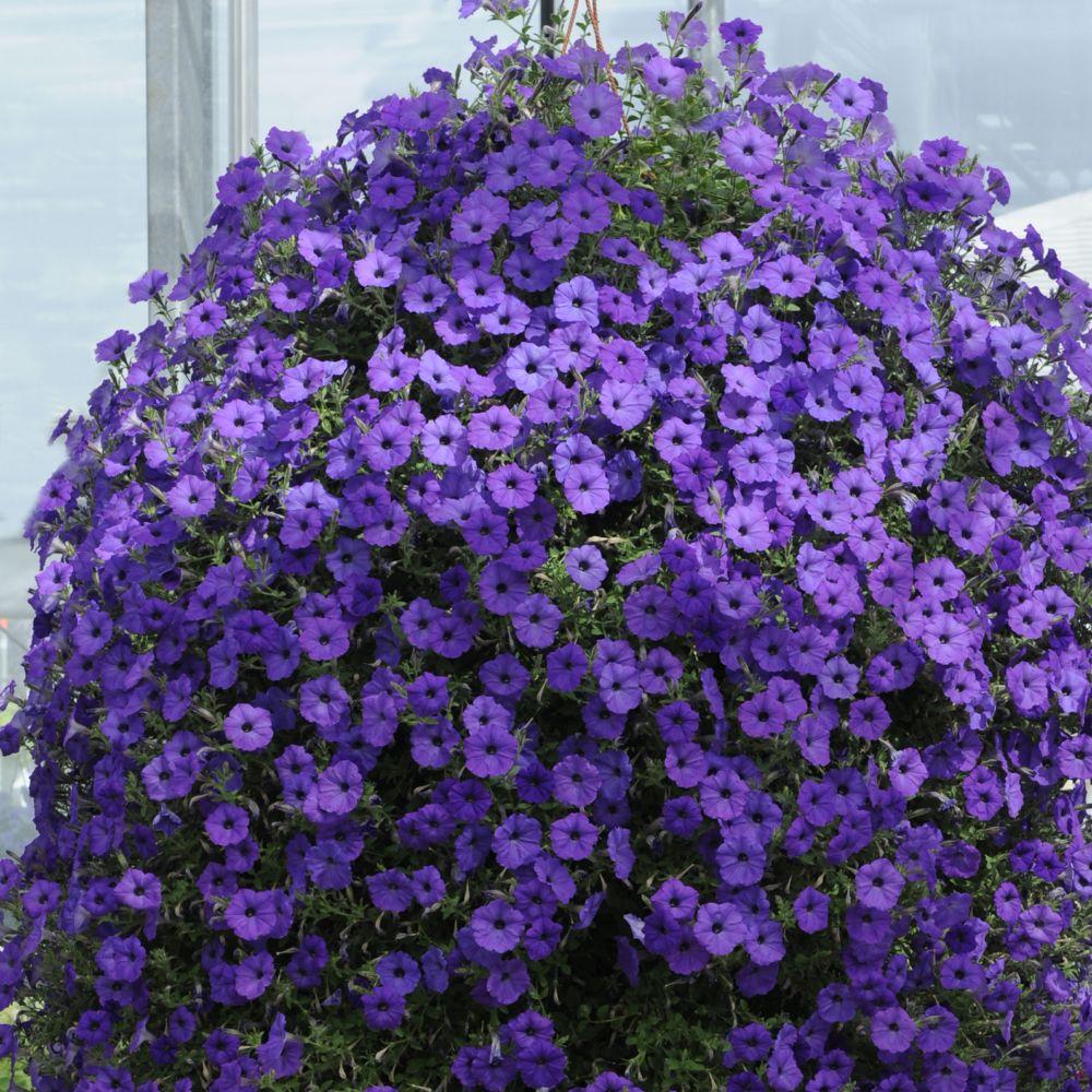 petunia cascade bleu fonc plantes et jardins. Black Bedroom Furniture Sets. Home Design Ideas
