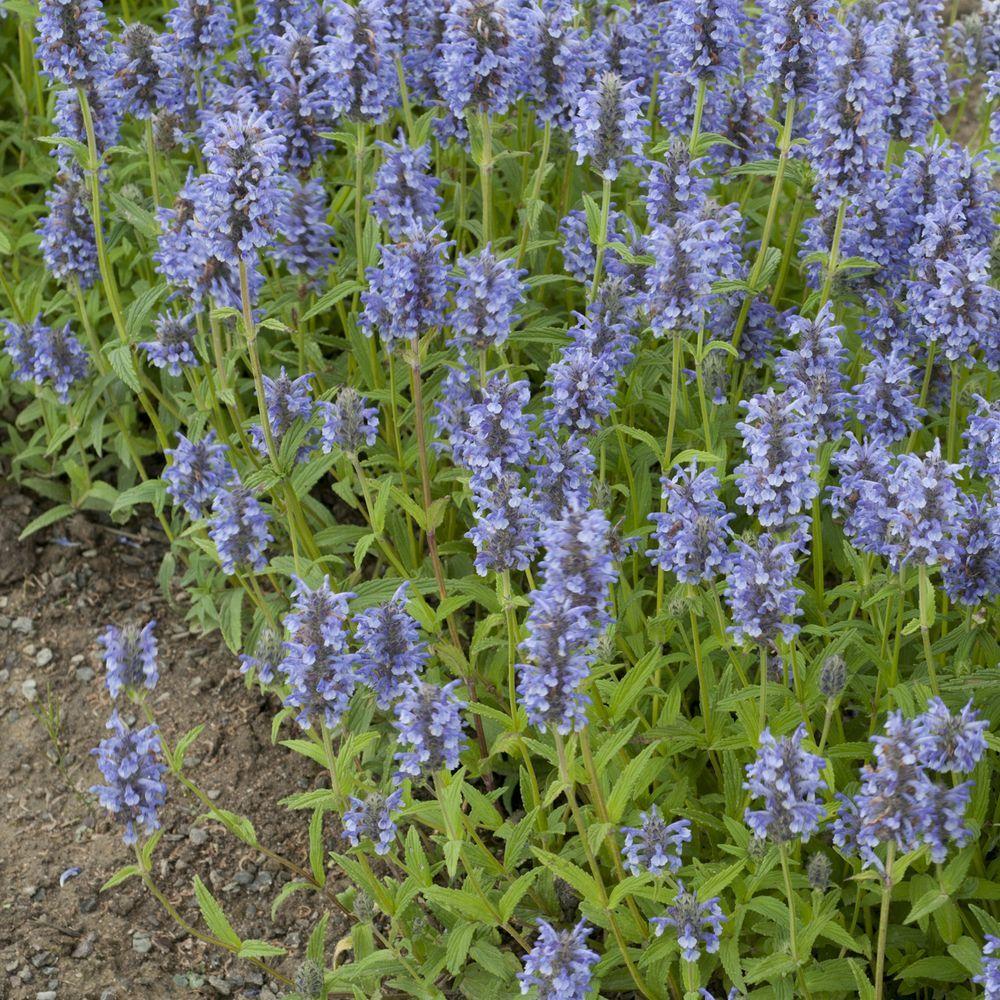 Nepeta nervosa plantes et jardins for Plantes et jardins adresse