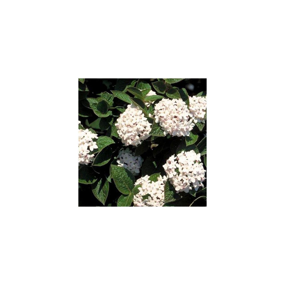 Viorne 39 burkwoodii 39 plantes et jardins for Plantes et jardins