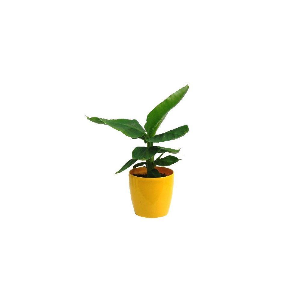 bananier avec cache pot jaune plantes et jardins. Black Bedroom Furniture Sets. Home Design Ideas