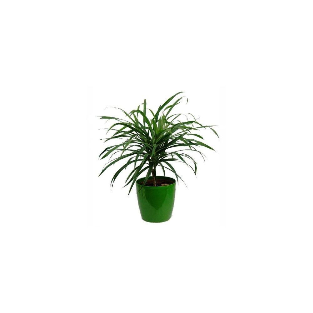 pleomele 39 anita 39 et cache pot vert plantes et jardins. Black Bedroom Furniture Sets. Home Design Ideas