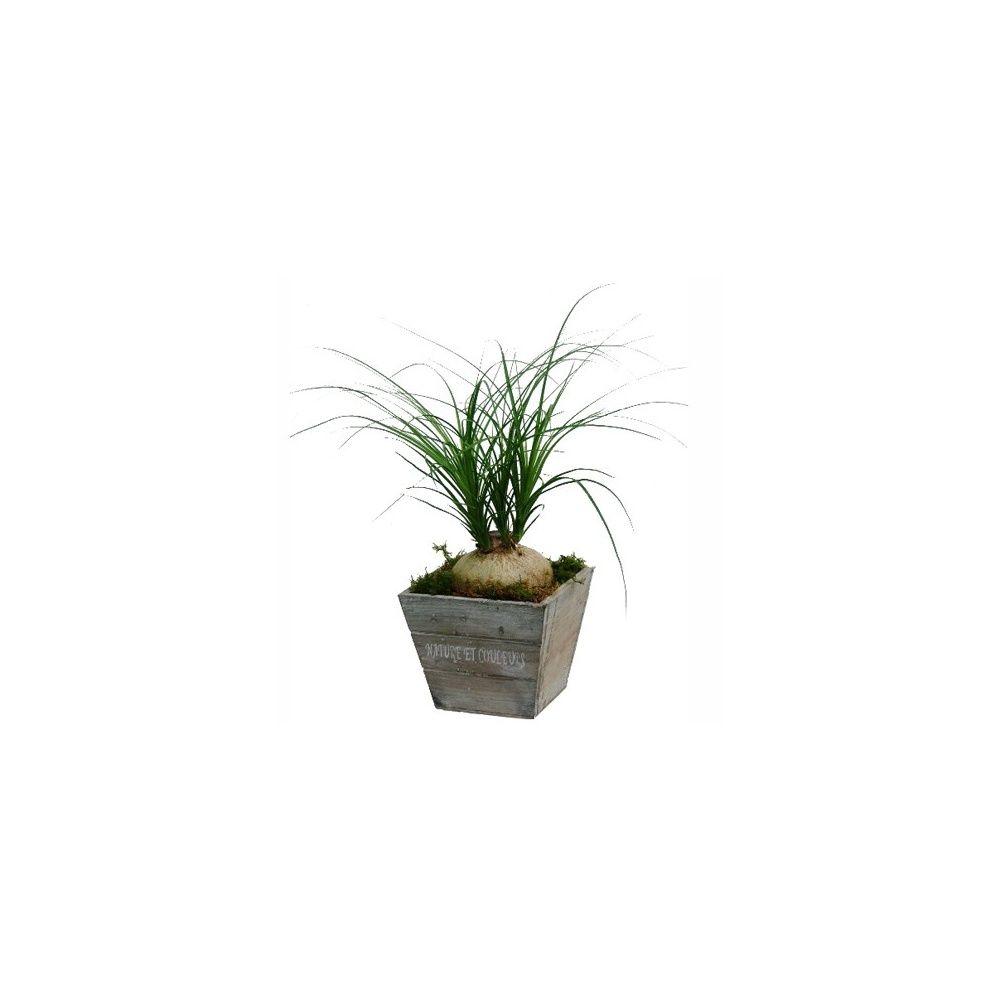 beaucarnea cache pot en bois plantes et jardins. Black Bedroom Furniture Sets. Home Design Ideas