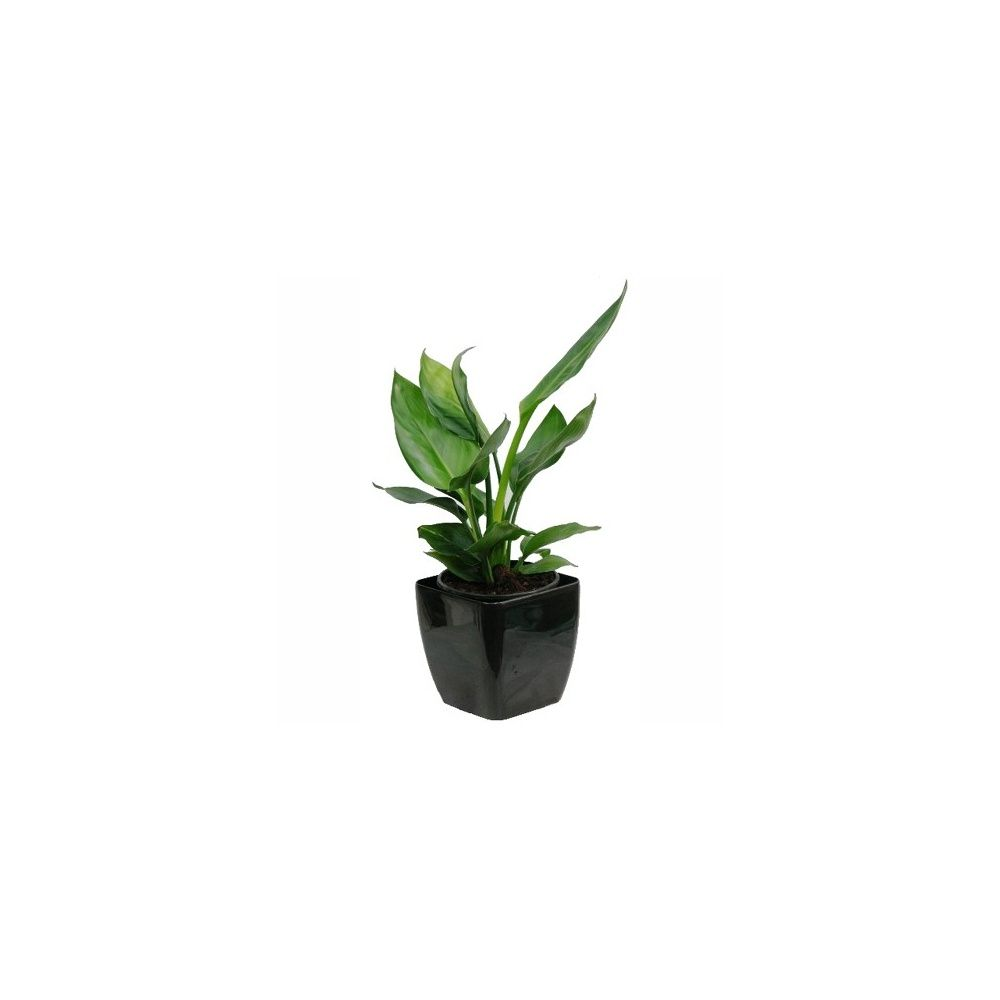strelitzia reginae oiseau du paradis et cache pot noir plantes et jardins. Black Bedroom Furniture Sets. Home Design Ideas