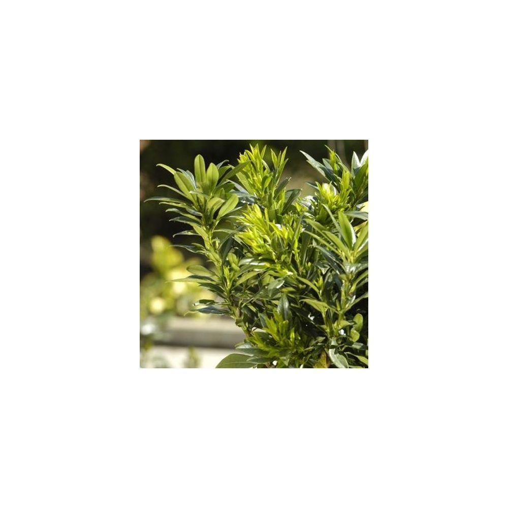 Laurier palme 39 gajo 39 x2 plantes et jardins for Plante et jardins