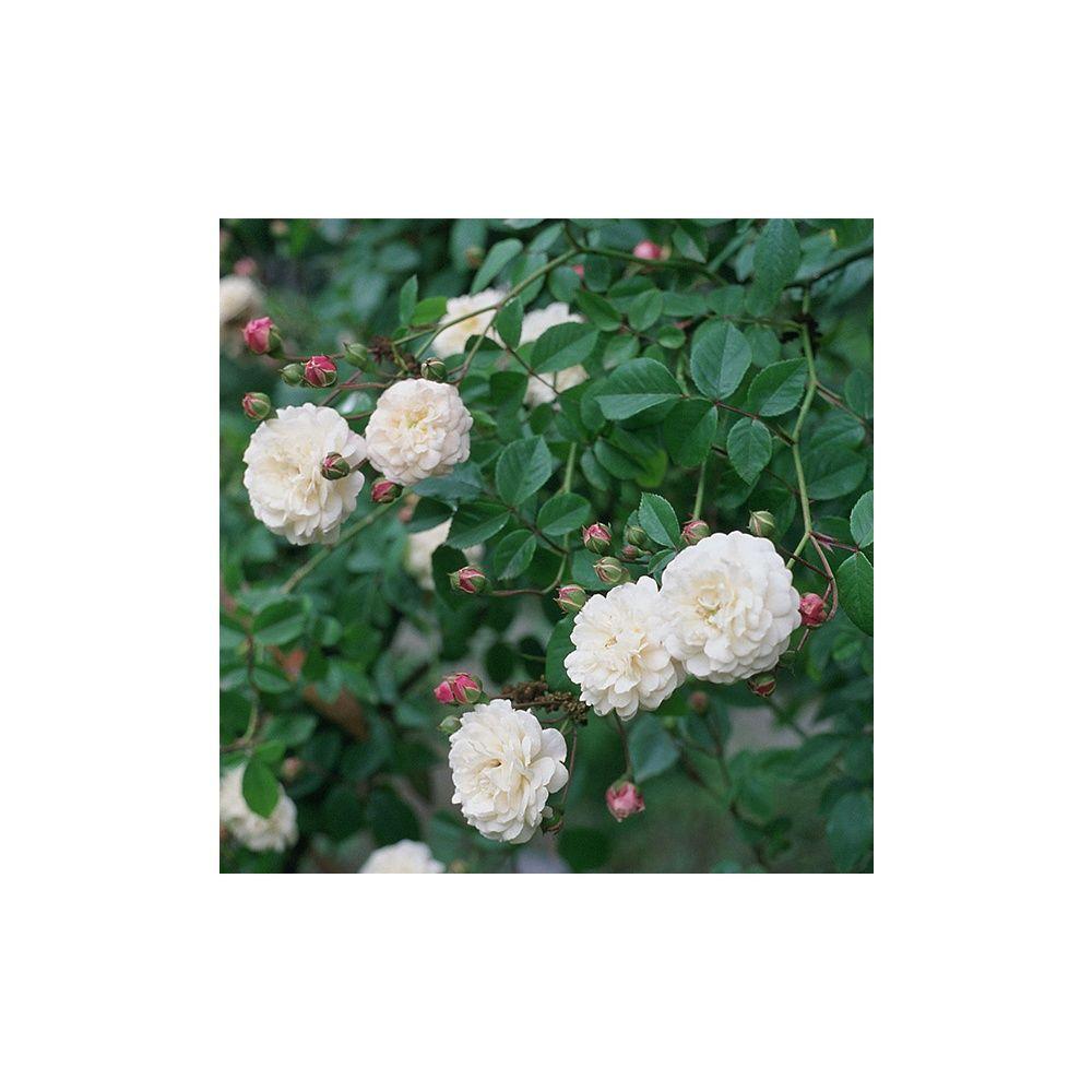 Rosier ancien grimpant 39 f licit perp tue 39 rosier guillot plantes et jardins - Bouturer un rosier ancien ...