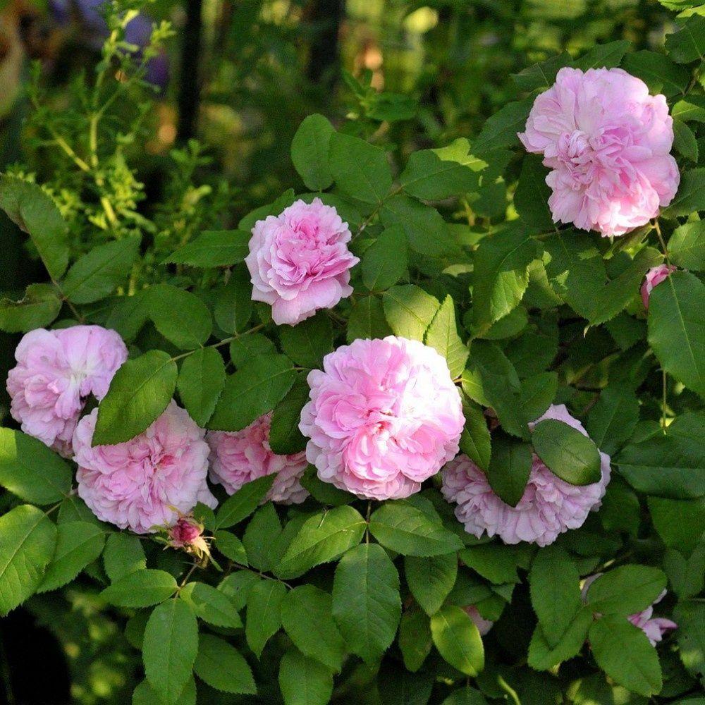 Rosier ancien 39 jacques cartier 39 rosier guillot plantes et jardins - Bouturer un rosier ancien ...