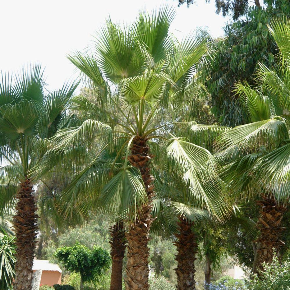 palmier jupon plantes et jardins. Black Bedroom Furniture Sets. Home Design Ideas