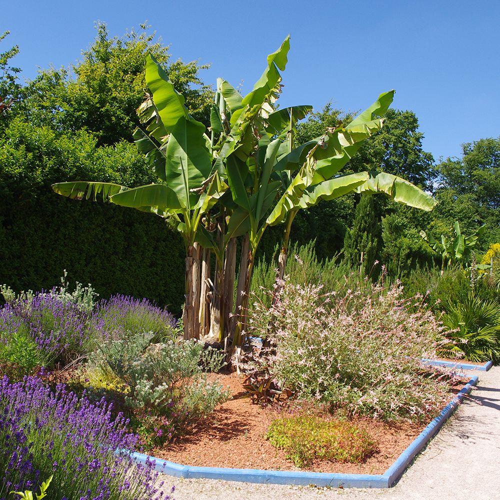 Bananier rustique plantes et jardins - Faire pousser un bananier ...