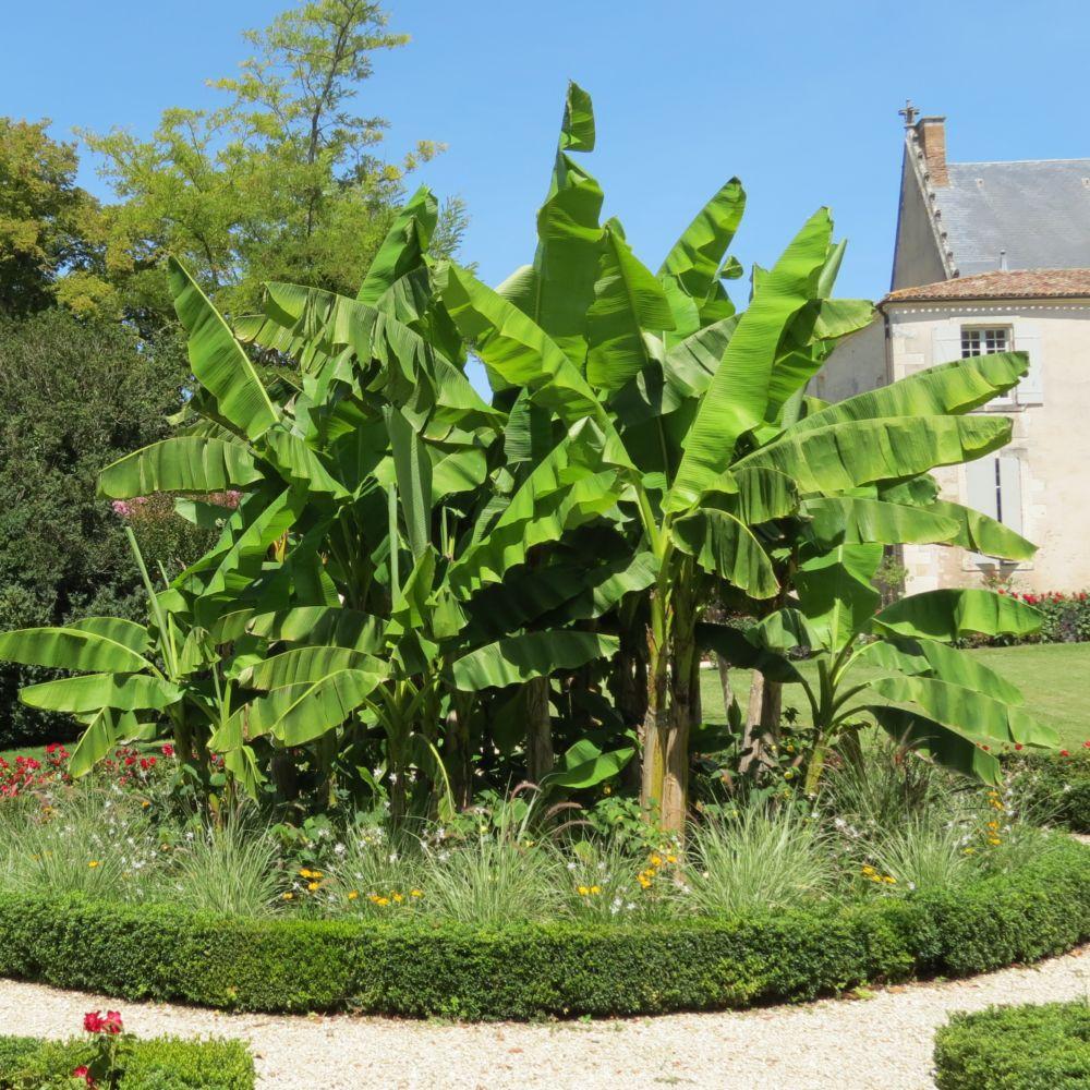 Bananier rustique plantes et jardins for Plante et jardins