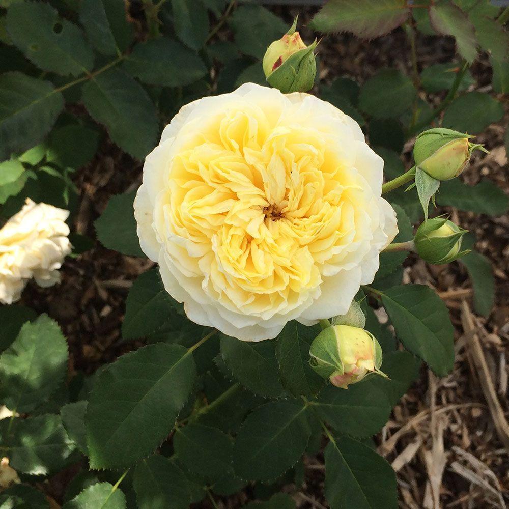 Rosier generosa 39 nelson montfort 39 masnelmo rosier guillot plantes et jardins - Quand planter un rosier ...
