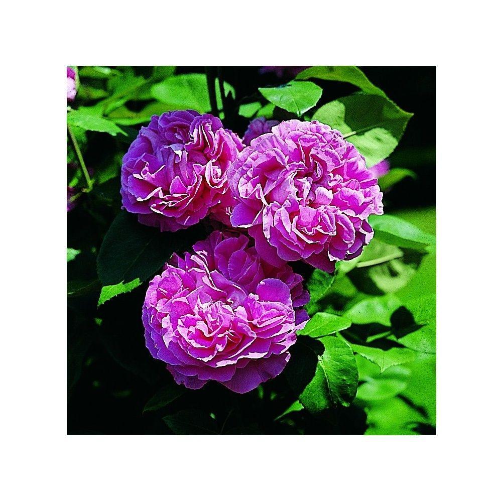 Rosier ancien 39 paul neyron 39 rosier guillot plantes et jardins - Bouturer un rosier ancien ...
