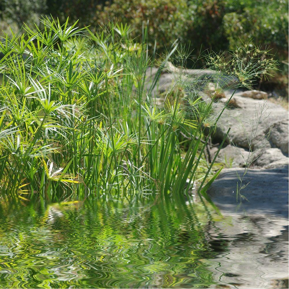 Papyrus cyperus alternifolius plantes et jardins for Plante et jardin catalogue