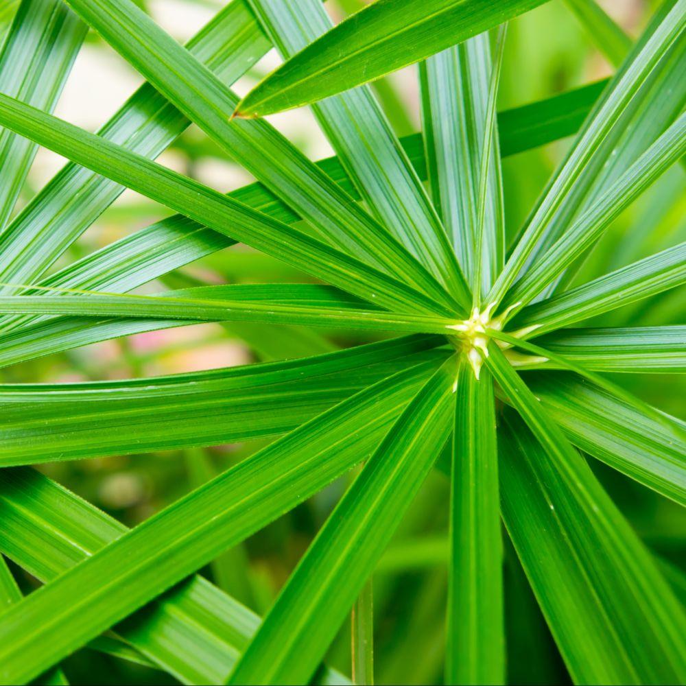 Papyrus cyperus alternifolius plantes et jardins for Maladie plante verte interieur