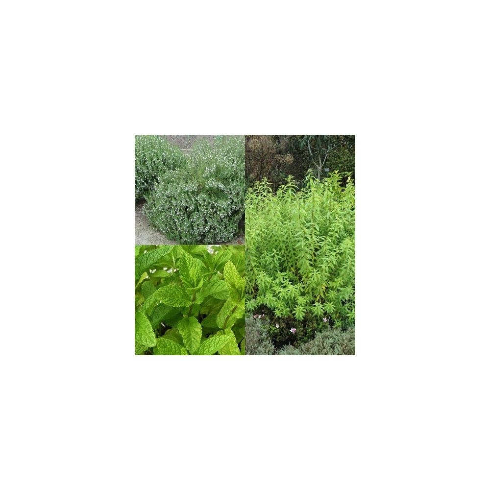 assortiment de 3 plantes aromatiques bio thym verveine. Black Bedroom Furniture Sets. Home Design Ideas
