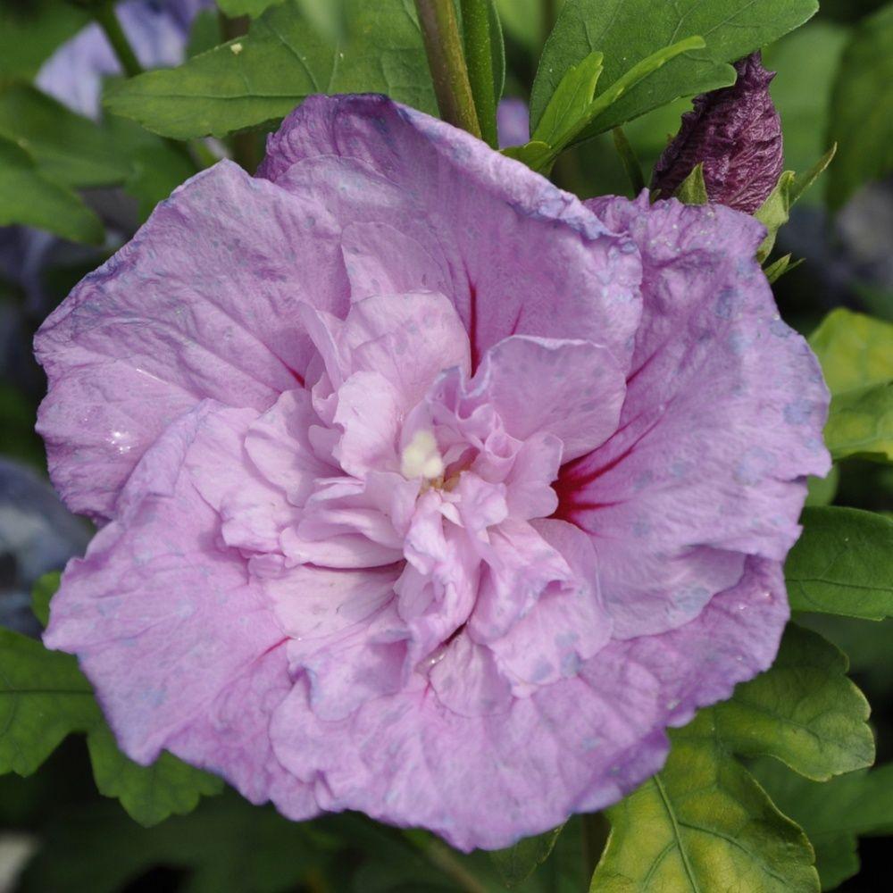 hibiscus syriacus 39 lavender chiffon 39 plantes et jardins. Black Bedroom Furniture Sets. Home Design Ideas