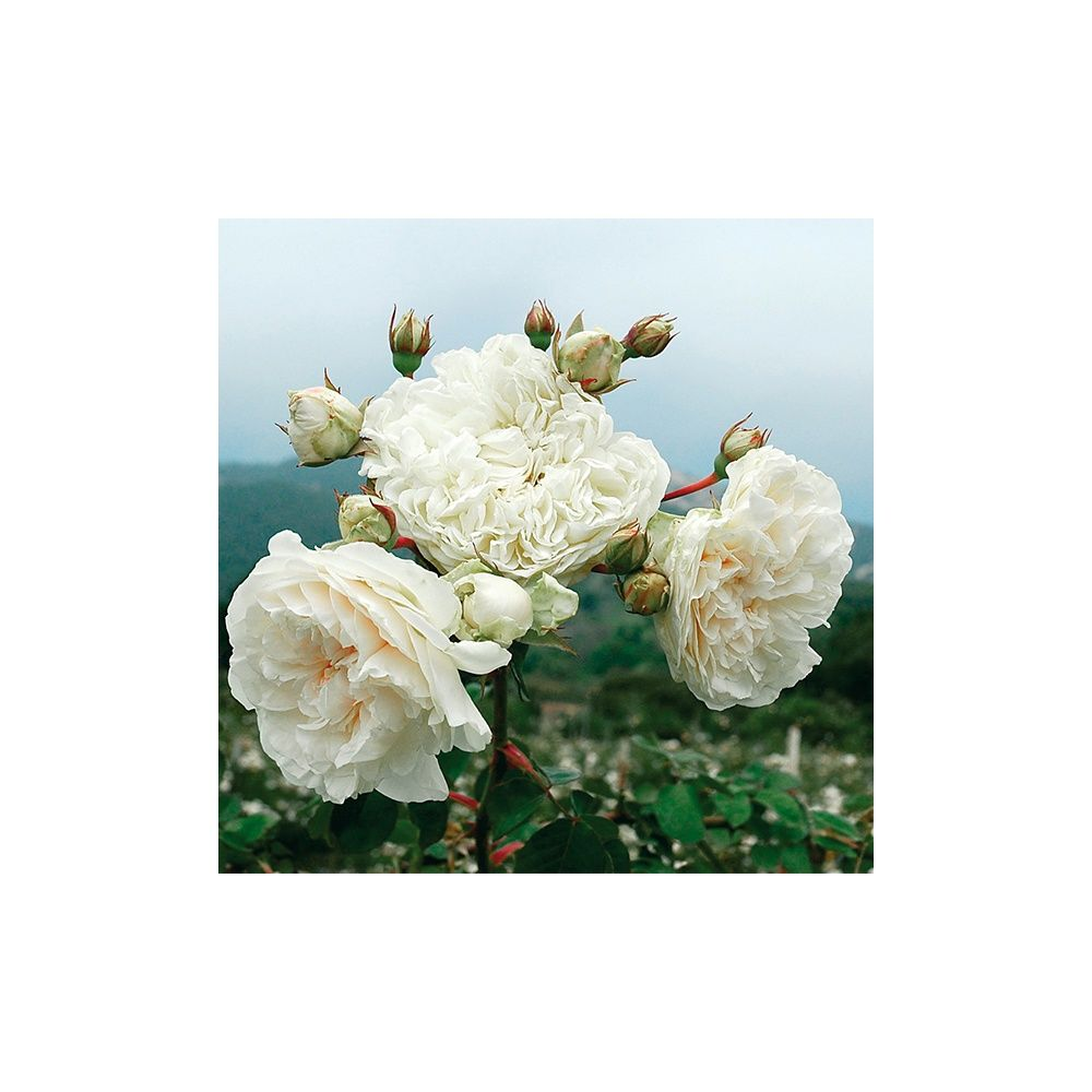 Rosier ancien grimpant 39 sombreuil 39 rosier guillot plantes et jardins - Bouturer un rosier ancien ...