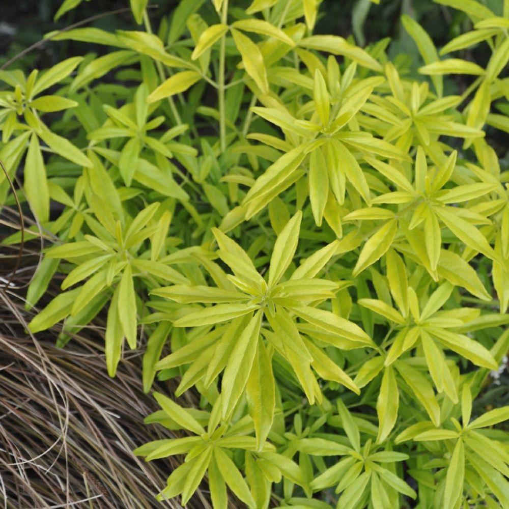 Oranger du mexique 39 goldfinger 39 plantes et jardins - Oranger du mexique entretien ...