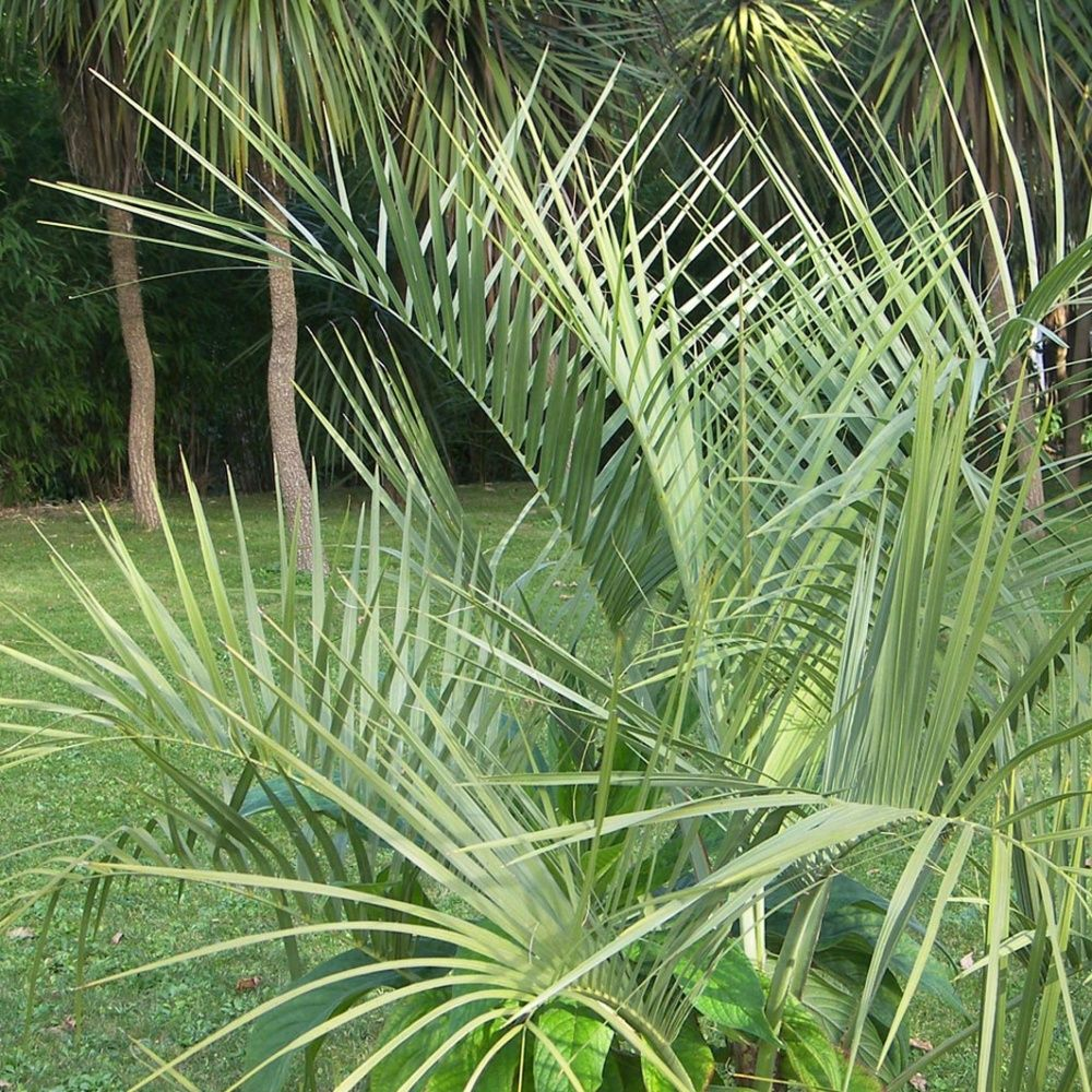 palmier arbre laque plantes et jardins. Black Bedroom Furniture Sets. Home Design Ideas