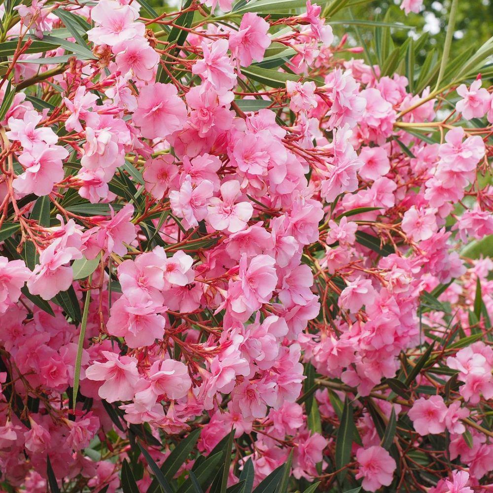 laurier rose fleurs simples rose fonc plantes et jardins. Black Bedroom Furniture Sets. Home Design Ideas