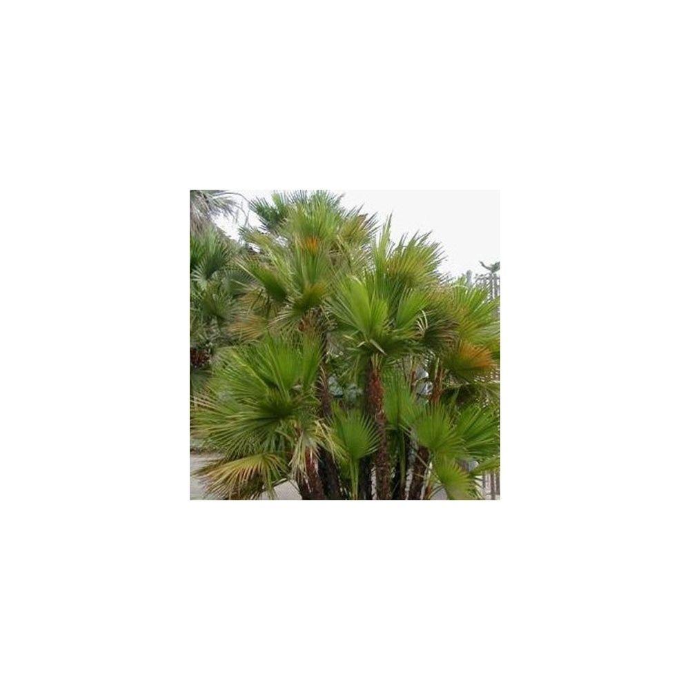 Palmier jupon plantes et jardins for Plante et jardin catalogue