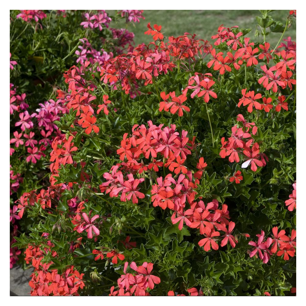 geranium lierre simple rouge plantes et jardins. Black Bedroom Furniture Sets. Home Design Ideas