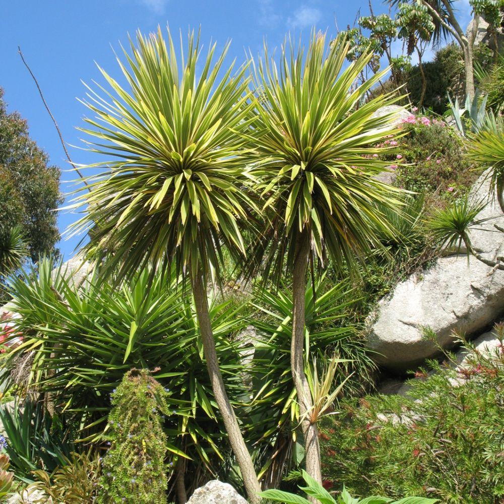 Cordyline australe plantes et jardins for Plante et jardins
