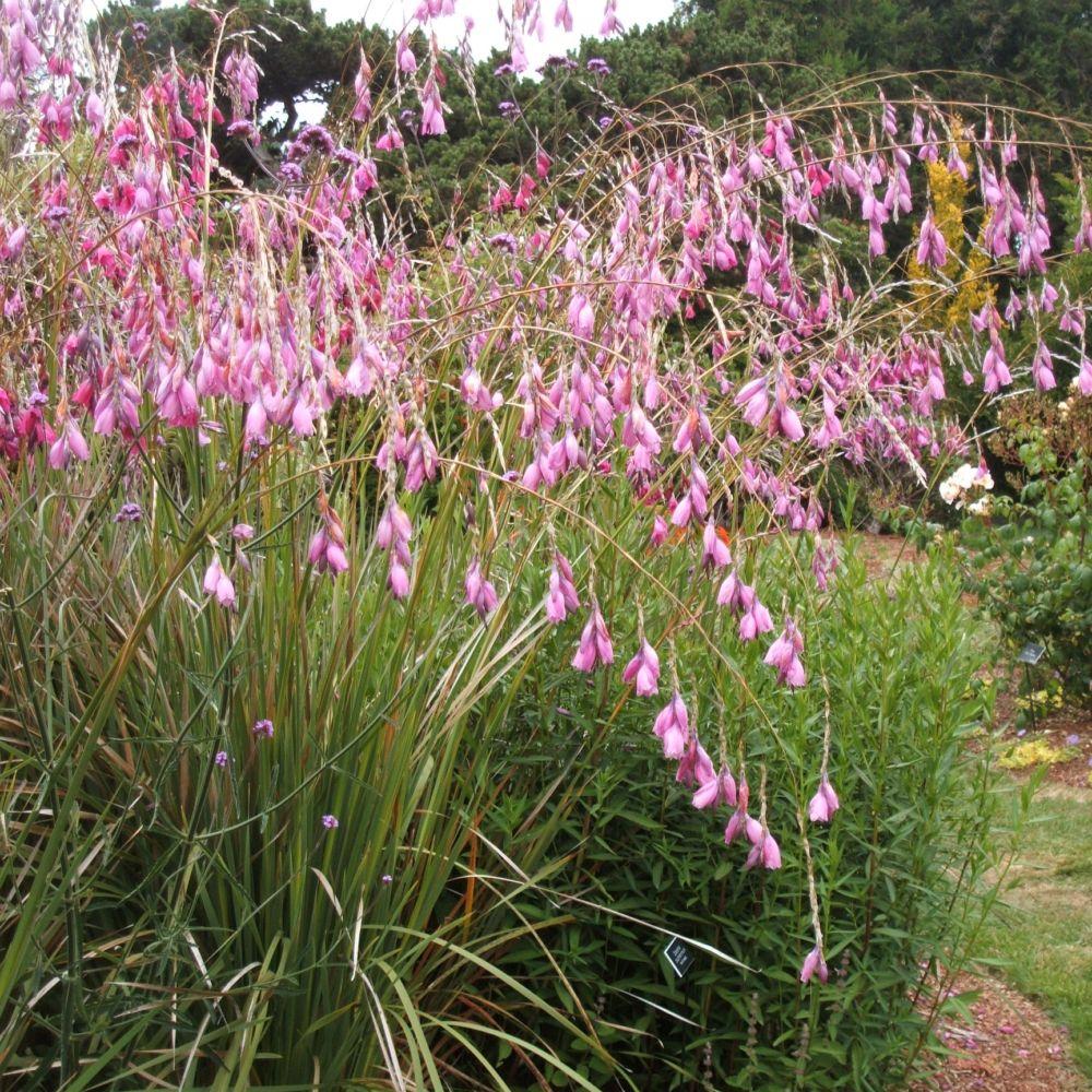 Dierama plantes et jardins - Canne a peche des anges ...