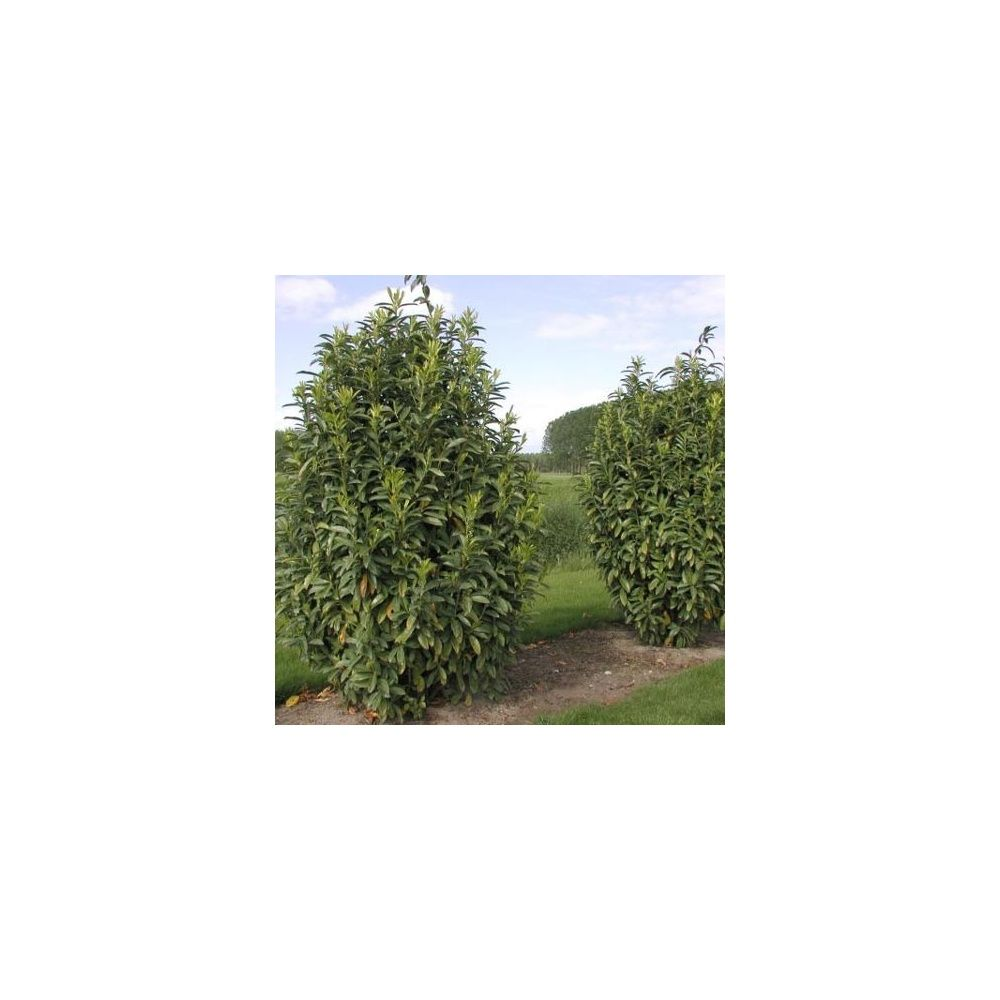 Laurier cerise 39 genolia 39 plantes et jardins for Plantes et jardins adresse