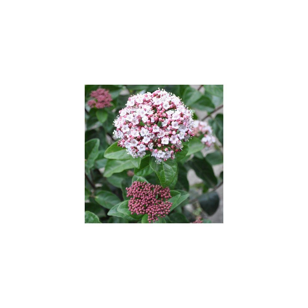 Viorne tin 39 lisarose 39 plantes et jardins for Plantes et jardins
