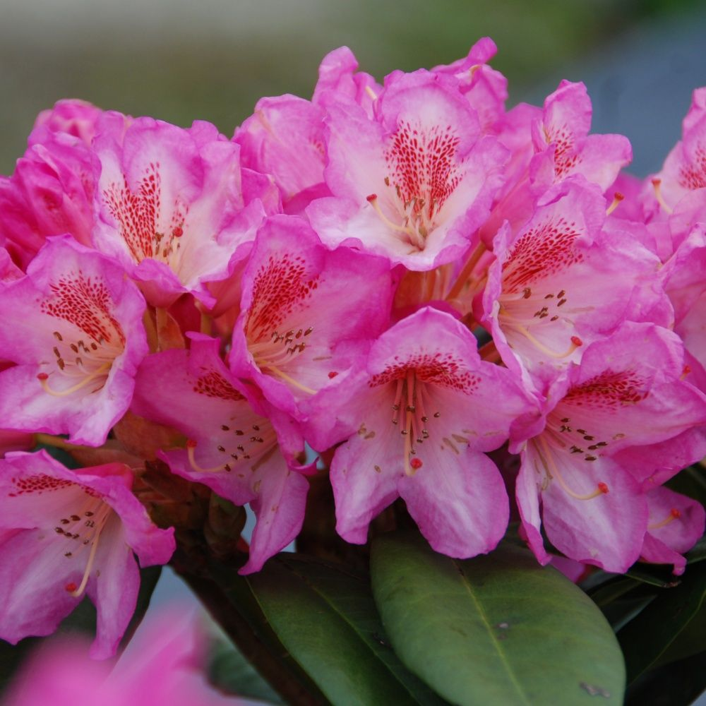 rhododendron eucharitis - Planter Un Rhododendron Dans Votre Jardin