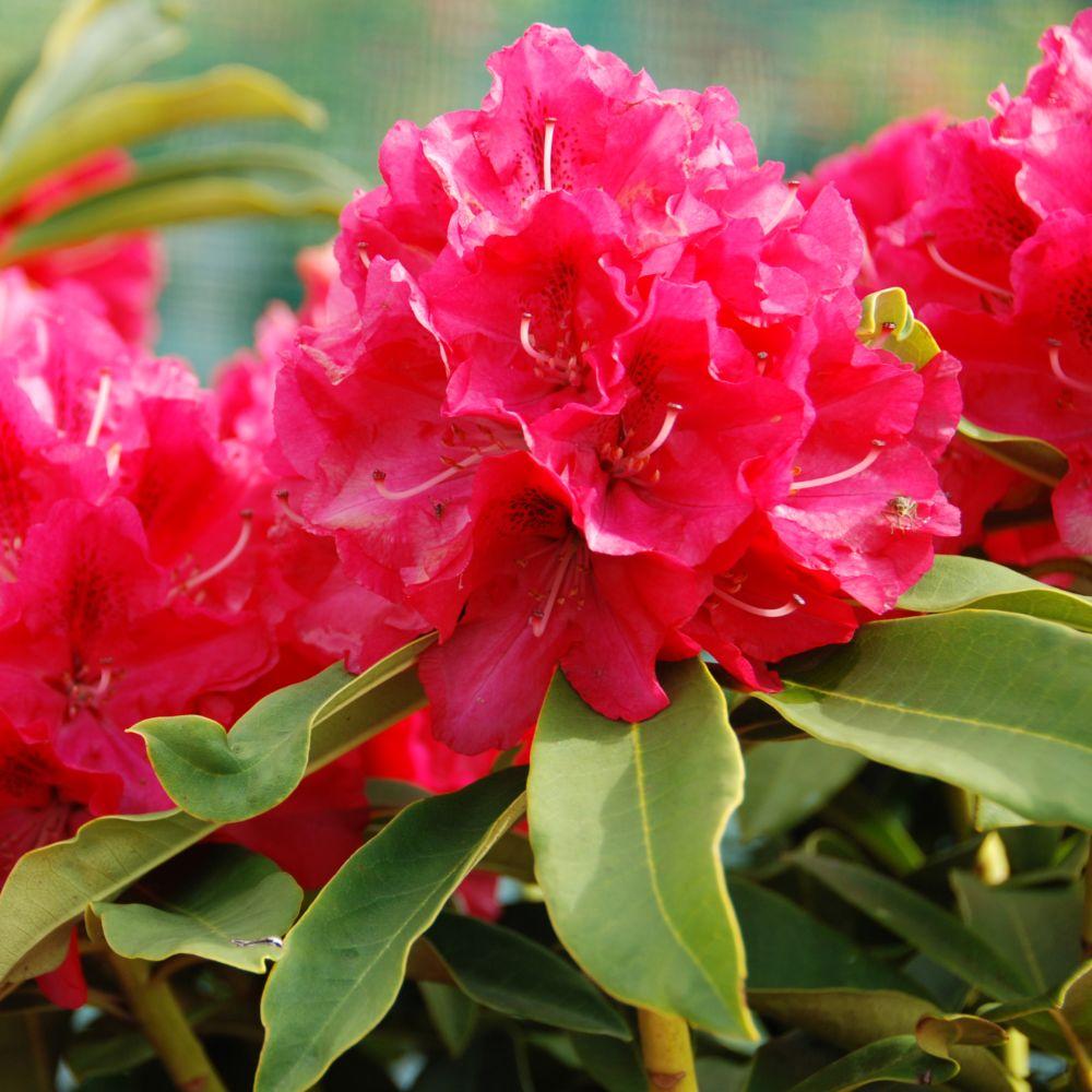 delightful planter un rhododendron dans votre jardin 14 rhododendron u0027wilgens rubyu0027 - Planter Un Rhododendron Dans Votre Jardin