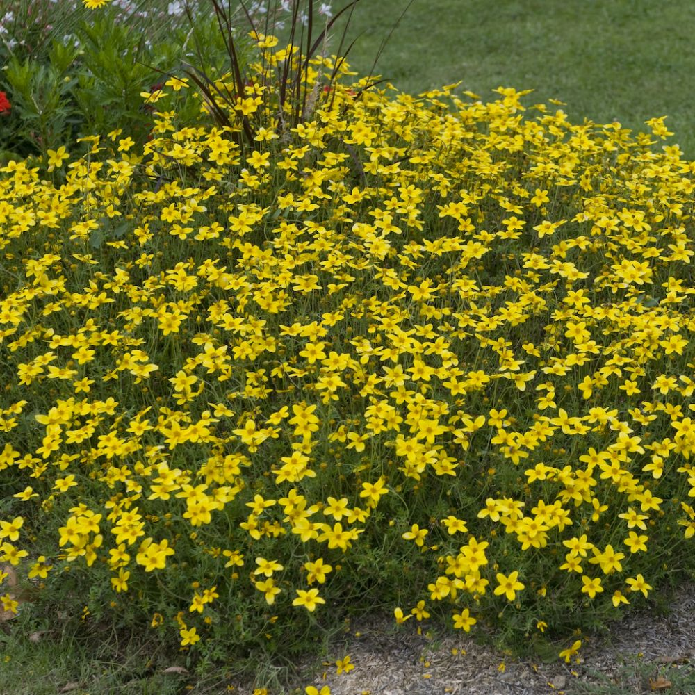 Bidens jaune plantes et jardins - Planter hortensia plein soleil ...