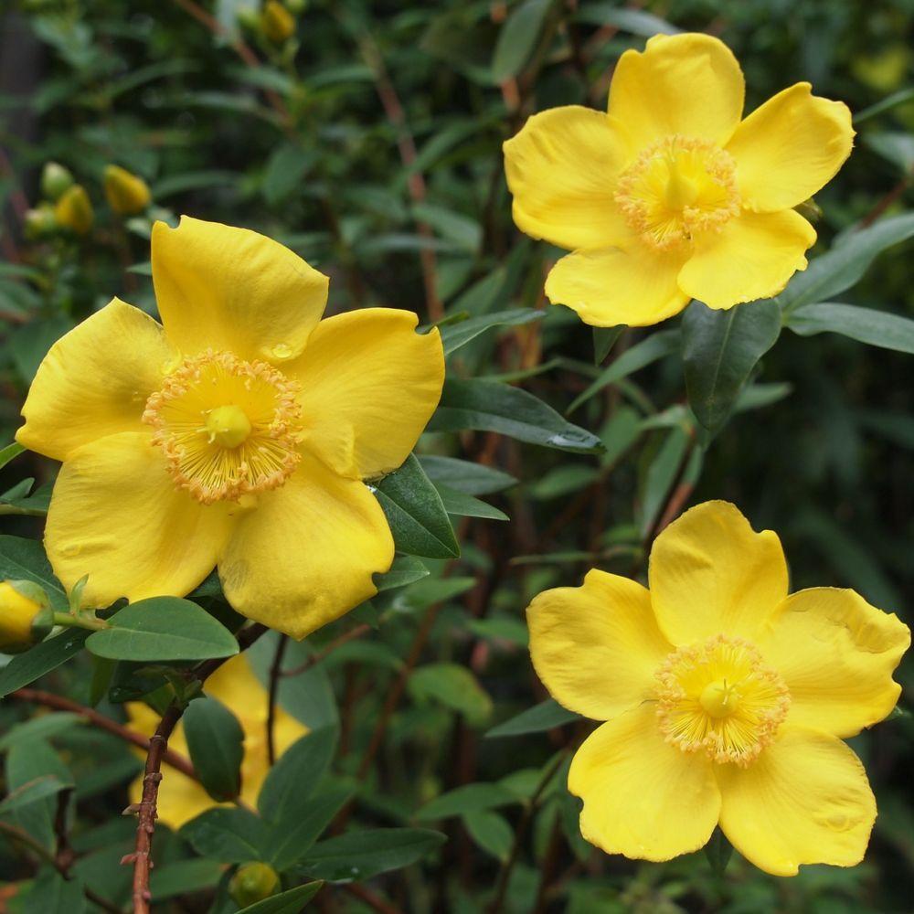 Millepertuis 39 hidcote 39 plantes et jardins for Plante arbuste