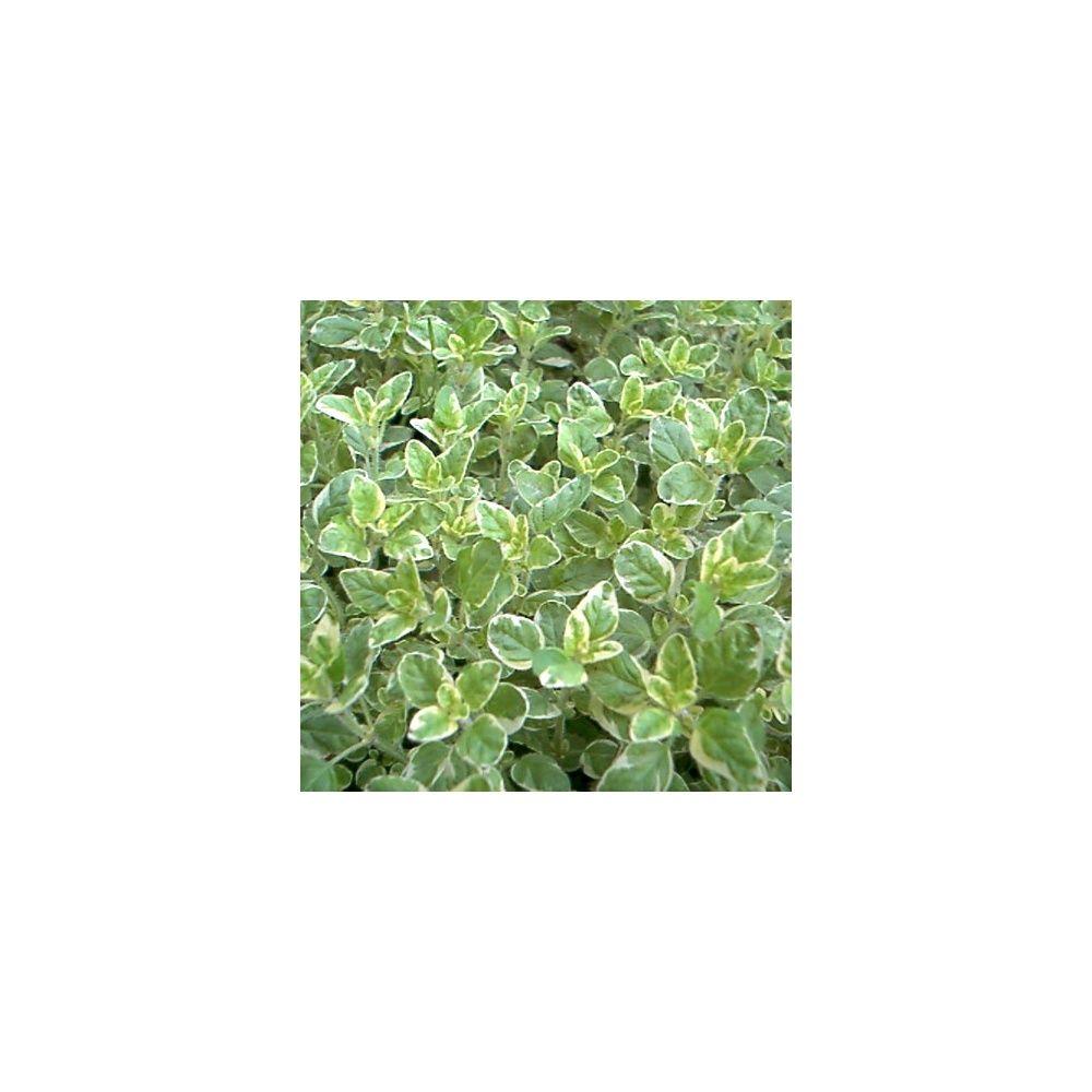 marjolaine ou origan panach plantes et jardins. Black Bedroom Furniture Sets. Home Design Ideas