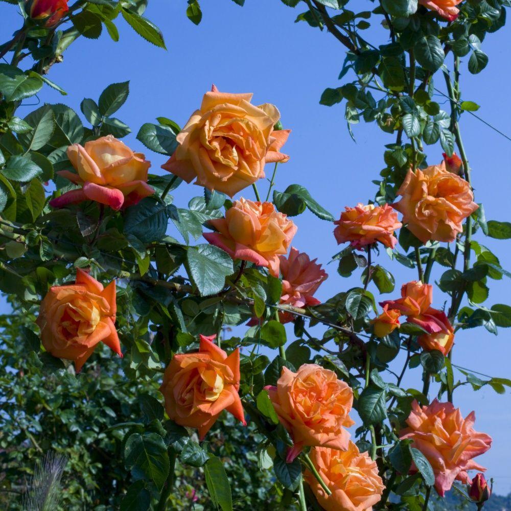 rosier grimpant 39 louis de fun s 39 rosier meilland plantes et jardins. Black Bedroom Furniture Sets. Home Design Ideas