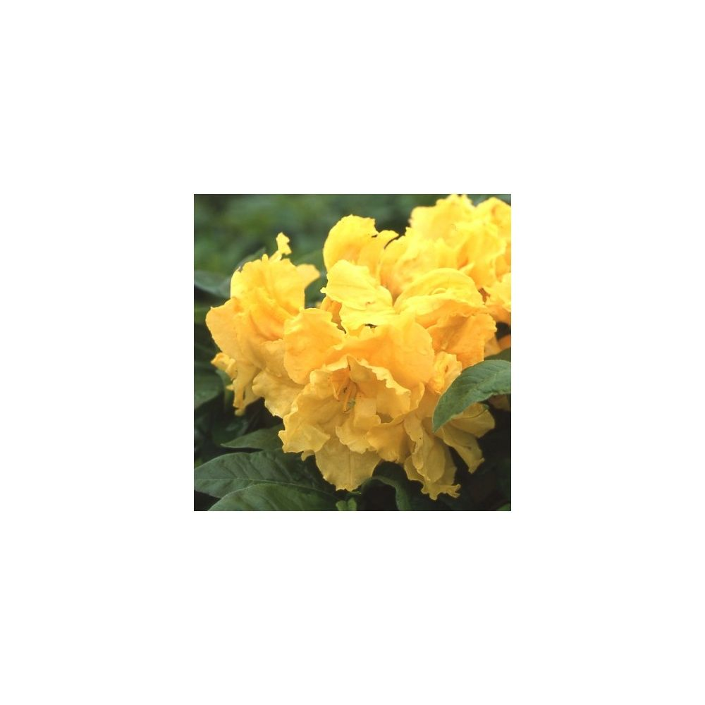 azal e de chine 39 frilly lemon 39 plantes et jardins. Black Bedroom Furniture Sets. Home Design Ideas