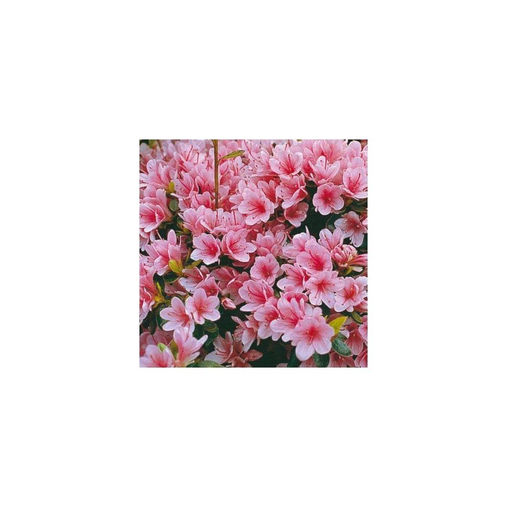 Azal e japonaise 39 kirin 39 plantes et jardins for Plante japonaise pour jardin