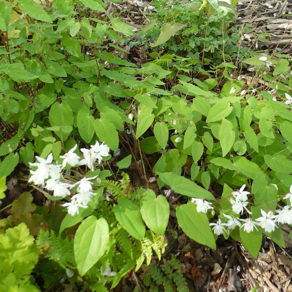 Epimedium youngianum niveum plantes et jardins for Plantes et jardins adresse