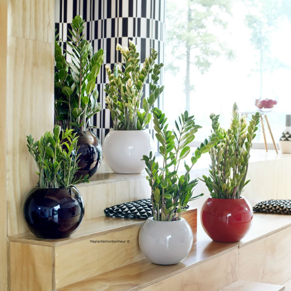 zamioculcas plantes et jardins. Black Bedroom Furniture Sets. Home Design Ideas