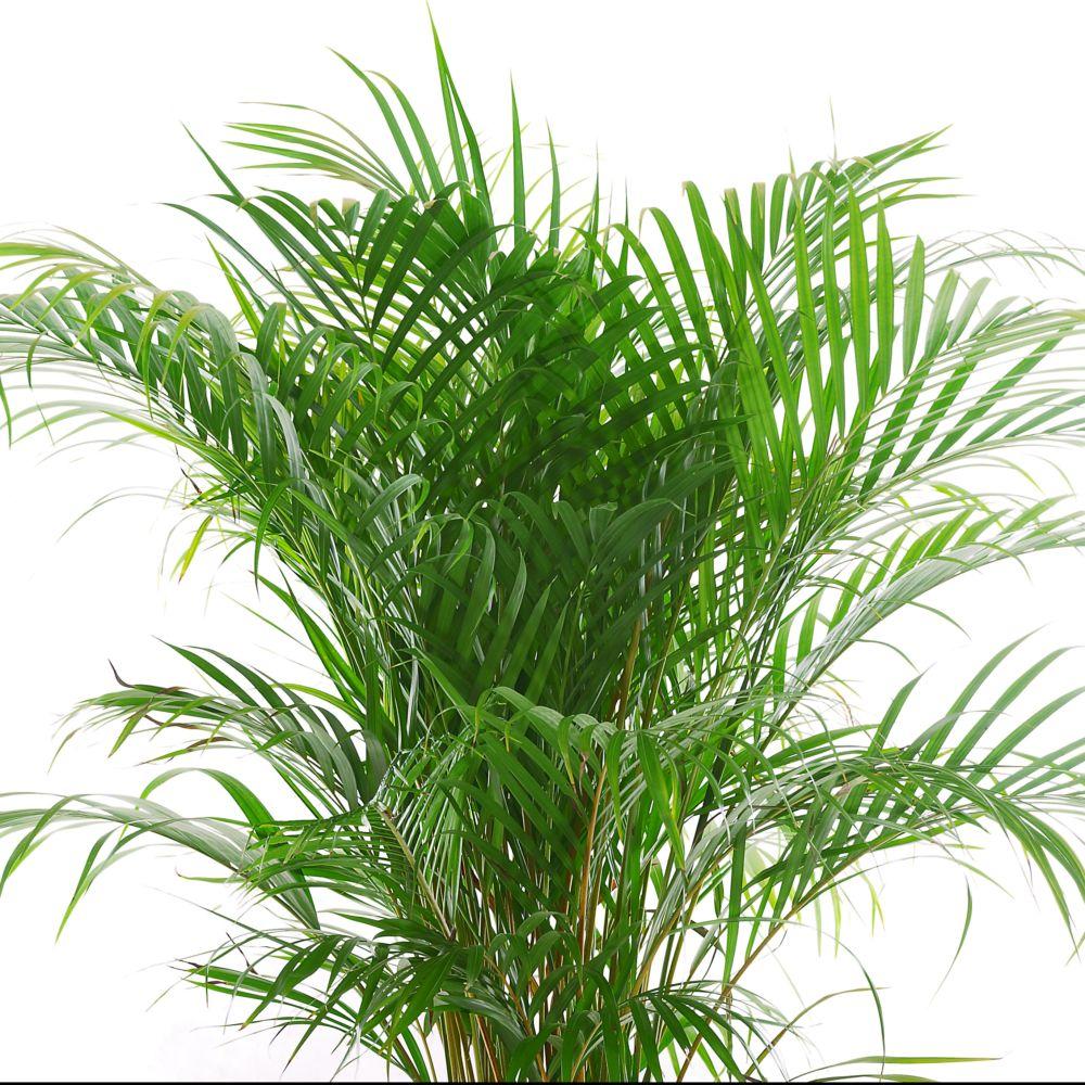 palmier areca lutescens dypsis plantes et jardins. Black Bedroom Furniture Sets. Home Design Ideas