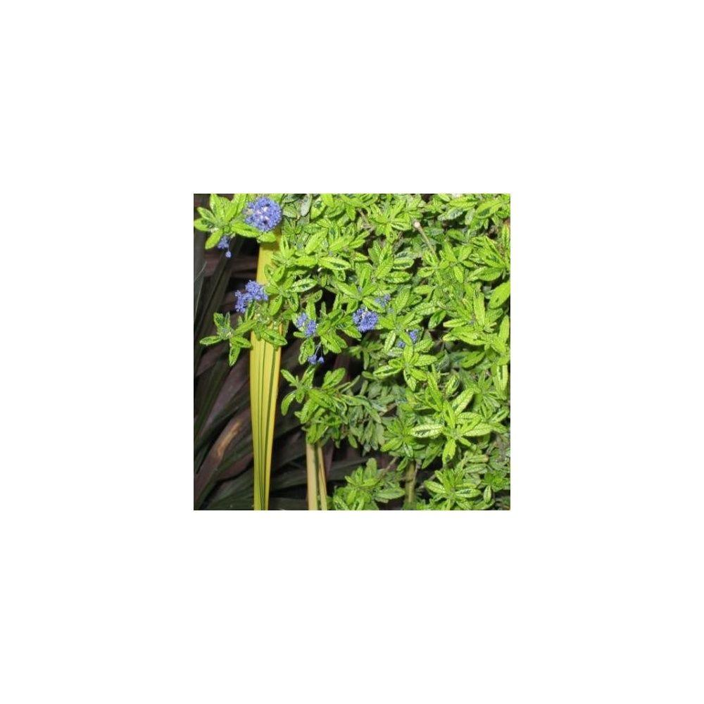 C anothe 39 madagascar 39 plantes et jardins for Plante 150 maladies madagascar