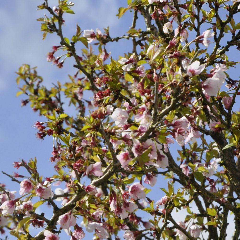 cerisier fleurs 39 kojou no mai 39 plantes et jardins. Black Bedroom Furniture Sets. Home Design Ideas