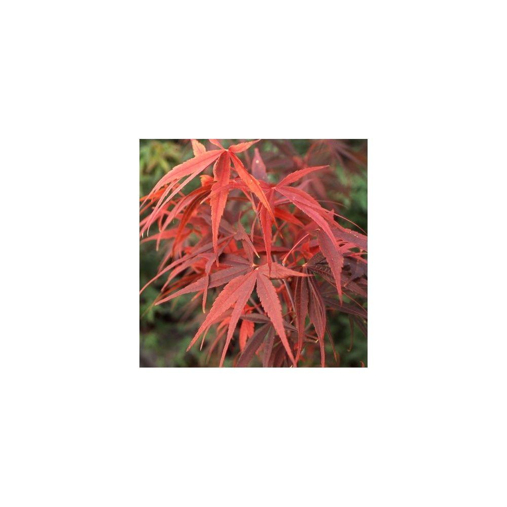 Erable du japon 39 red emperor 39 plantes et jardins - Maladie erable du japon ...