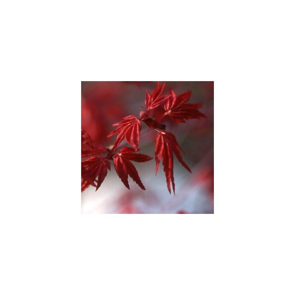 erable du japon 39 shindeshojo 39 plantes et jardins. Black Bedroom Furniture Sets. Home Design Ideas