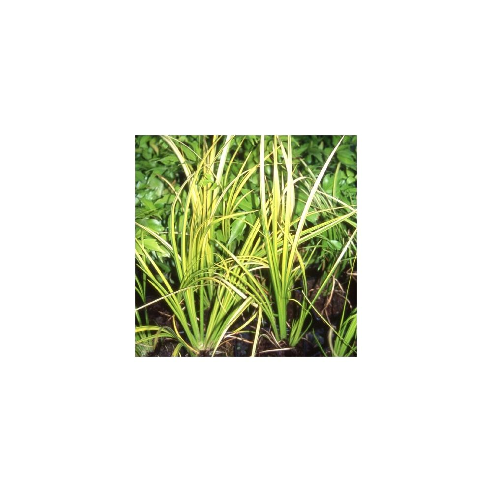Acorus 39 ogon 39 plantes et jardins - Plante et jardins ...